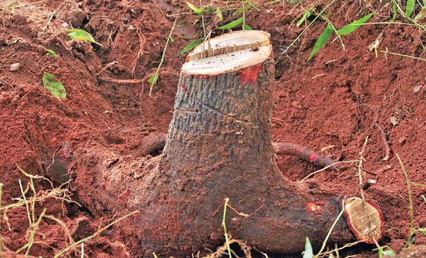 Sandalwood tree felled at forester's home
