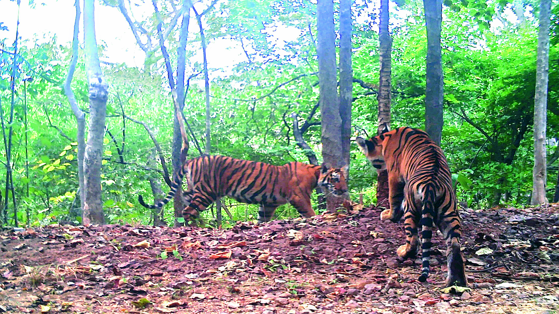 A pair of tigers captured in one of the camera traps  at NSTR, Srisailam.