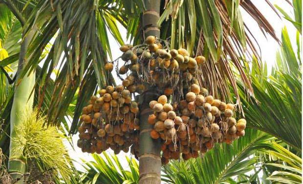 Karnataka Now Arecanut Farmers In Distress