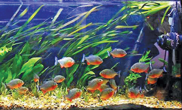 kozhikode pet stores beckon with exotic piranhas