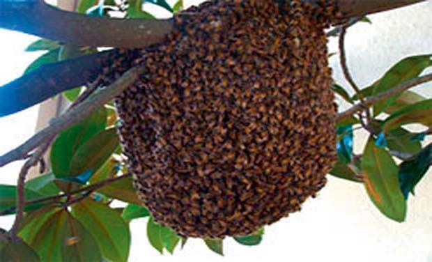 treatment-of-severe-bee-stings-bee-sting-treatment