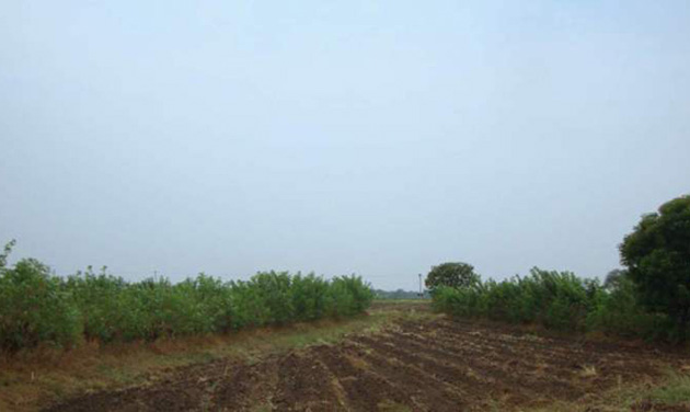 Gliricidia trees growing around the ICRISAT field bunds. (Photo: ICRISAT official site)