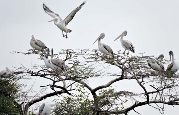 The pelicans at the Jakkur Lake in Bengaluru