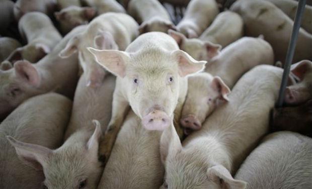 Pig human sex