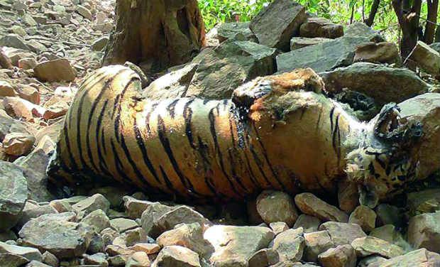 According to the 2010 census, India had approximately 1,706 tigers. (Photo: PTI/File)
