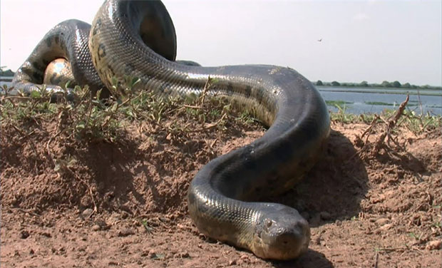 Anacondas are the longest and the heaviest snake variety. Courtesy: National Geographic