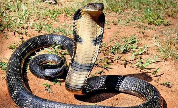 Snakes Rescued After They Stray Close To Human Habitats In