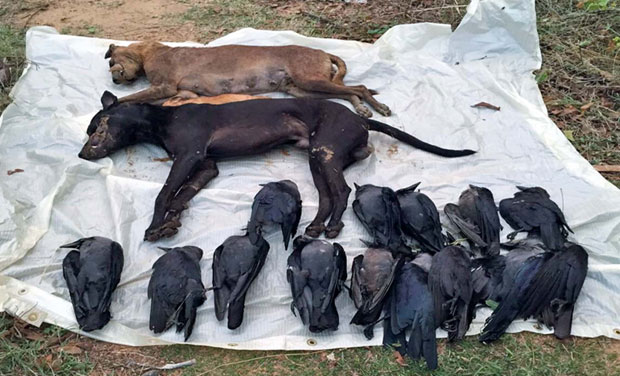 4 strays, several crows found poisoned to death