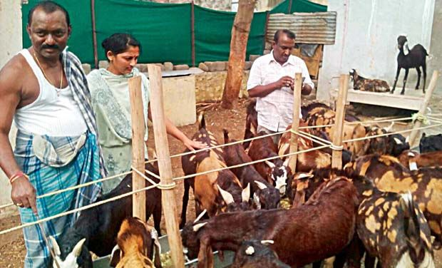 Goat Farm In Tamilnadu