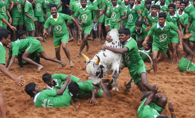 Participants trying to tame a bull during Jallikattu festival, organised as part of the Pongal festival, at Palamedu near Madurai, Tamil Nadu, on Wednesday. -PTI