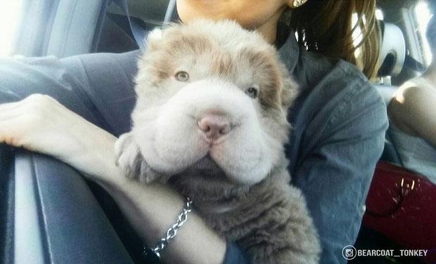 Most Inspiring Teddy Bear Chubby Adorable Dog - 1_20  Graphic_532674  .jpg