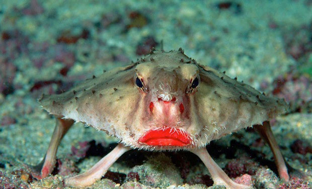 Red Lipped Batfish Gives The Impression That It Tried To Compensate For An Unusual Body