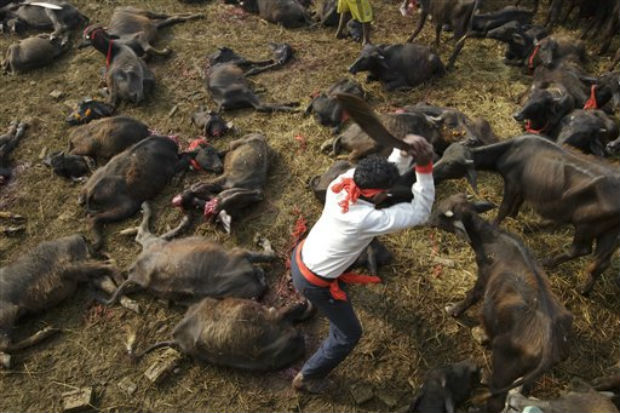 5,000 buffaloes slaughtered in Nepal's animal sacrifice ritual