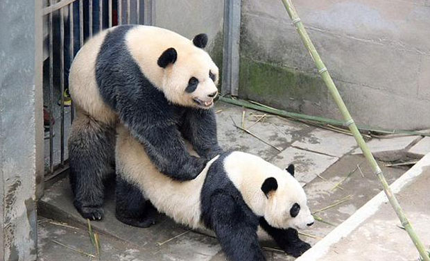 Watch: Giant pandas in China shatter world record for