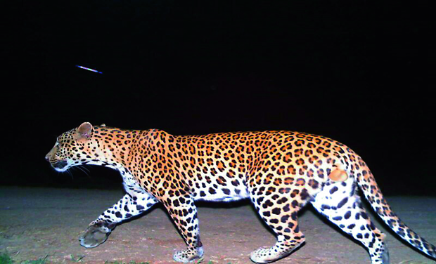 Panther caught on camera at Icrisat    (Photo: DC)