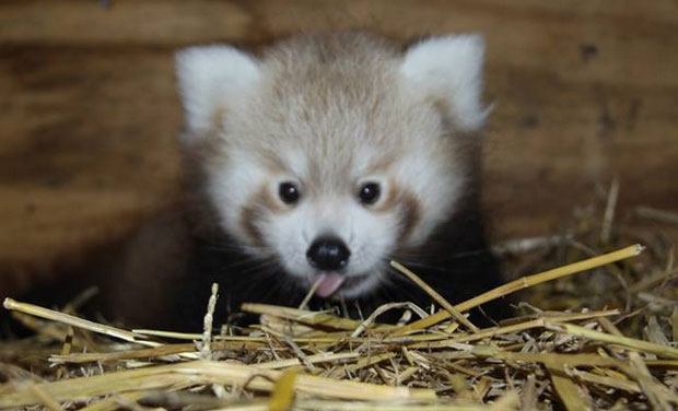 These Pictures Of A Red Panda Cub Are Too Cute To Handle