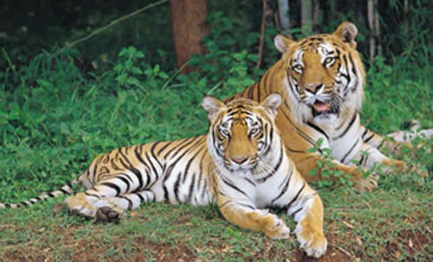 January is the month for Tiger Census in Telangana