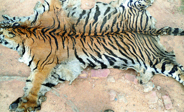 The tiger skins which were seized by forest officials from two people at Dornala on Saturday.                           (Photo: Deccan Chronicle)