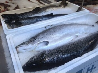 fresh-whole-salmon-frozen-ice-260nw-1566645475.jpg