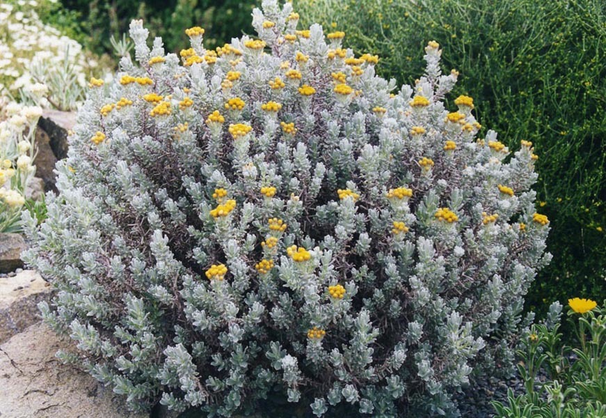 Helichrysum_splendidum_2b.jpg