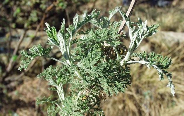 Artemisia_afra_07102003_Afrique_du_sud_3.jpg