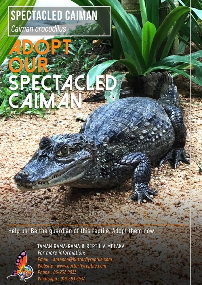Spectacled Caiman i.jpg