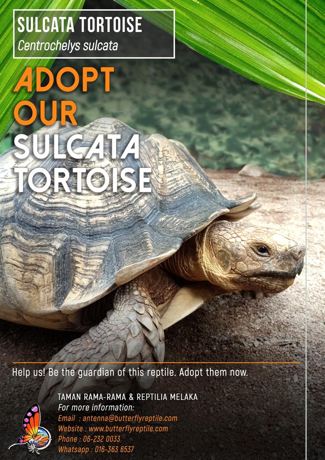Sulcata Tortoise (3) i.jpg