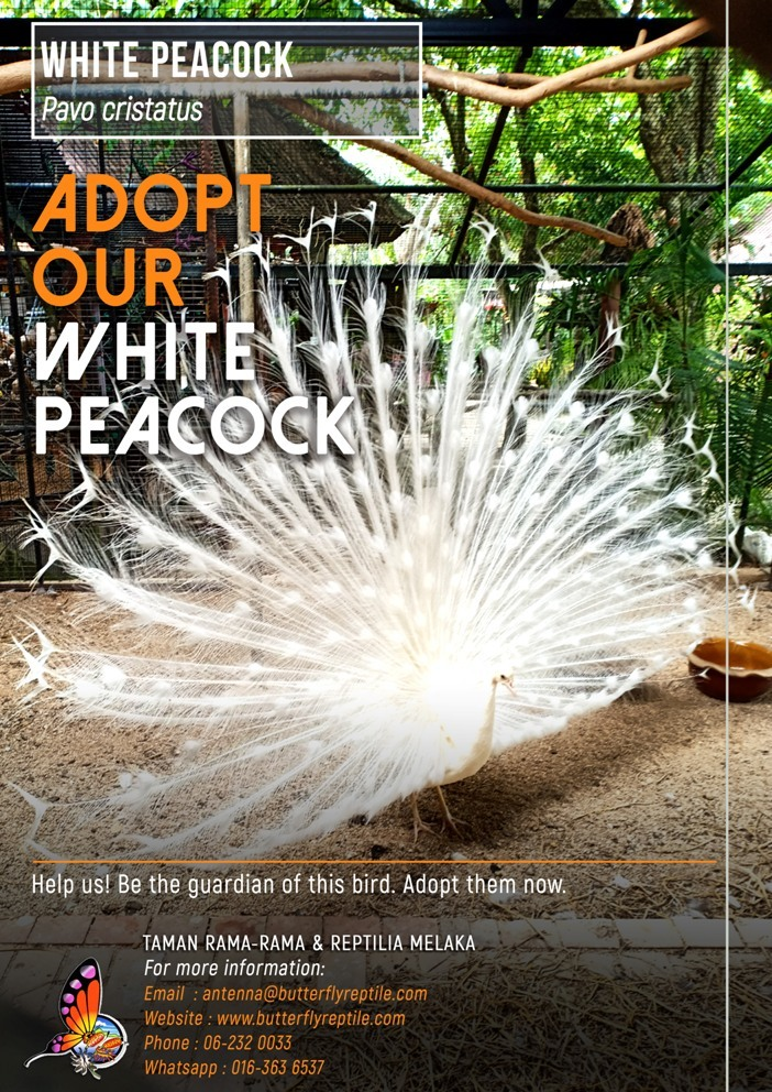 White Peacock i.jpg