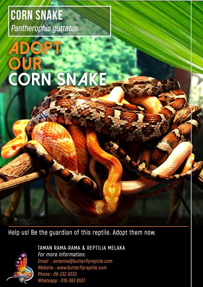 Corn Snake i.jpg