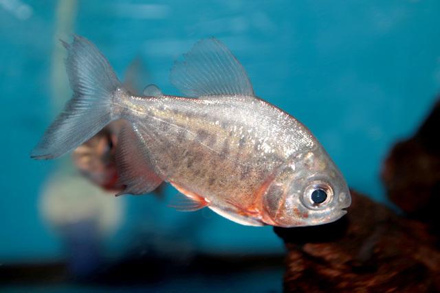 pacu-fish.jpg