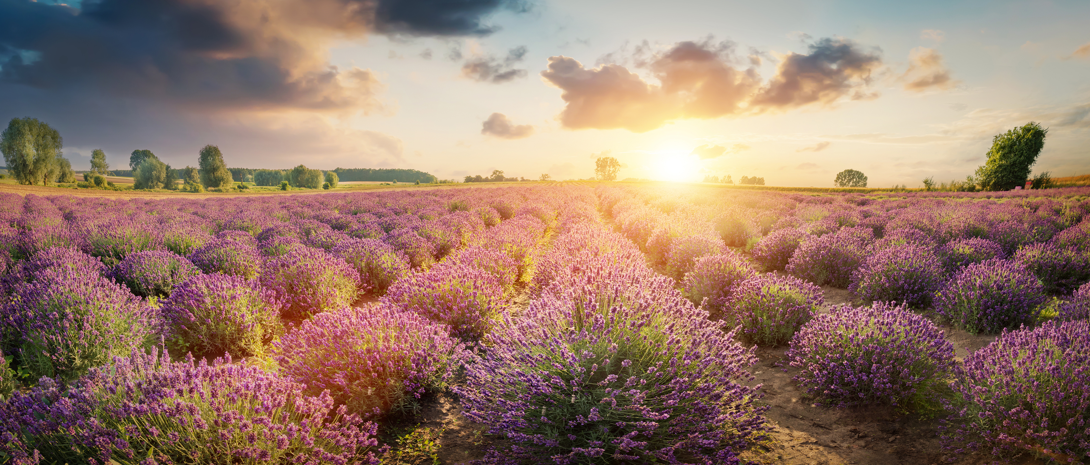 panorama-of-lavender-flower-field-at-sunset-PQEWKL3-s.jpg
