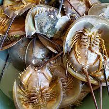 Horse shoe crab / Belangkas 500g