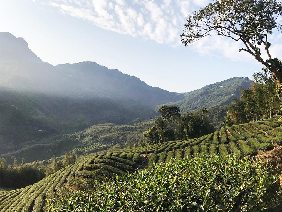 泰芳茶行 | 烏龍茶的專家 | 屏東縣 - 世界級的臺灣芬芳