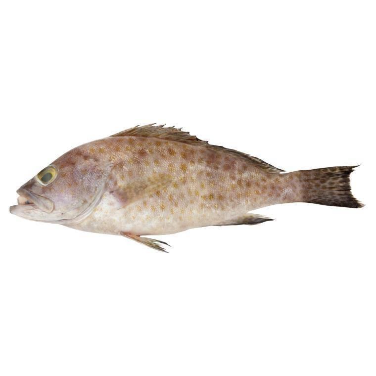 ikan-kerapu-3