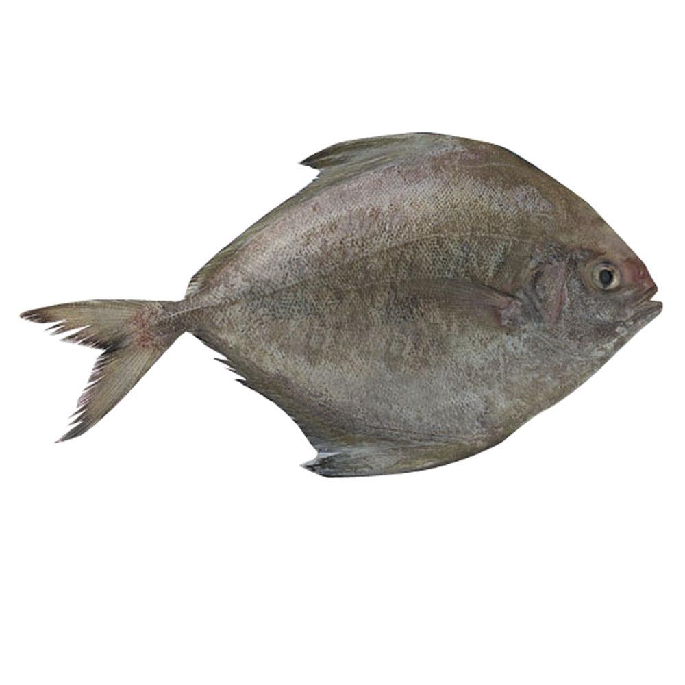 Ikan-Bawal-Hitam-1