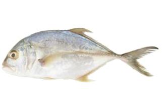 Ikan Nyok Nyok.png