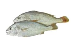 Ikan gelama.png