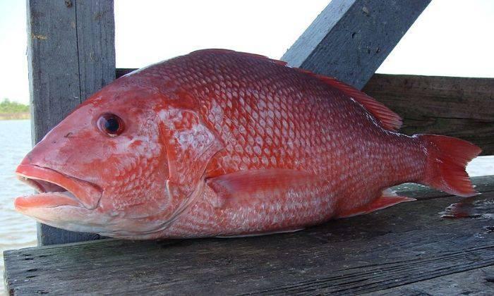 ikan merah.jpeg