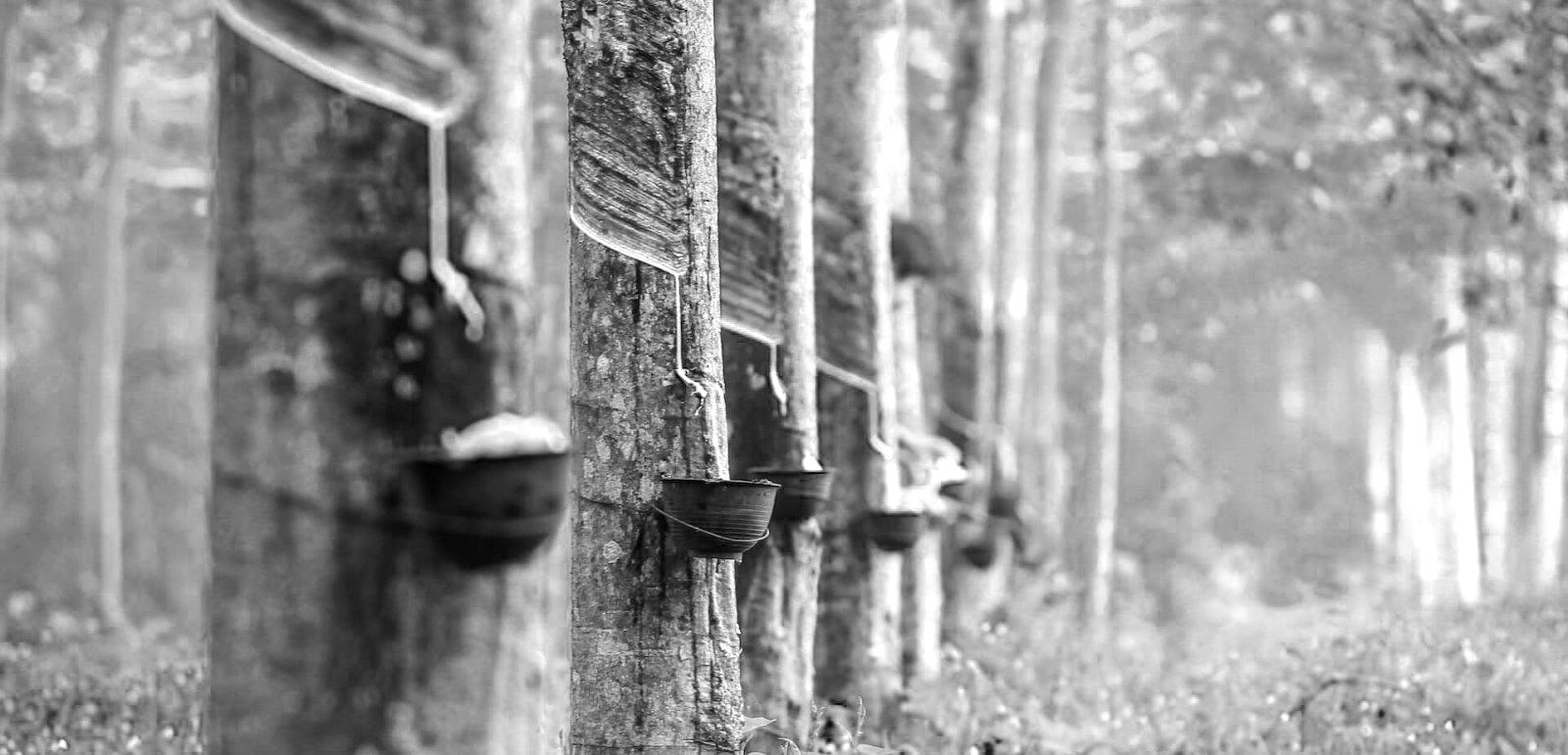 Rubber plant Bnw.jpg