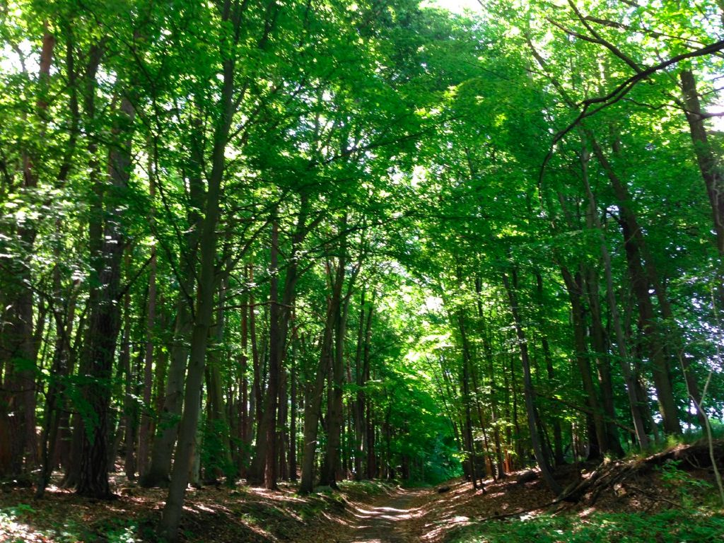 Ancient beech forests – Grumsin Buchenwald