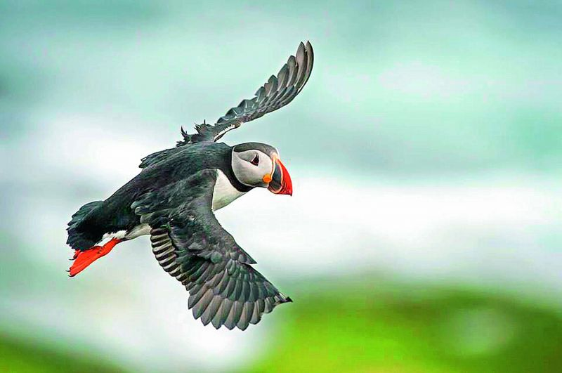 A flying puffin