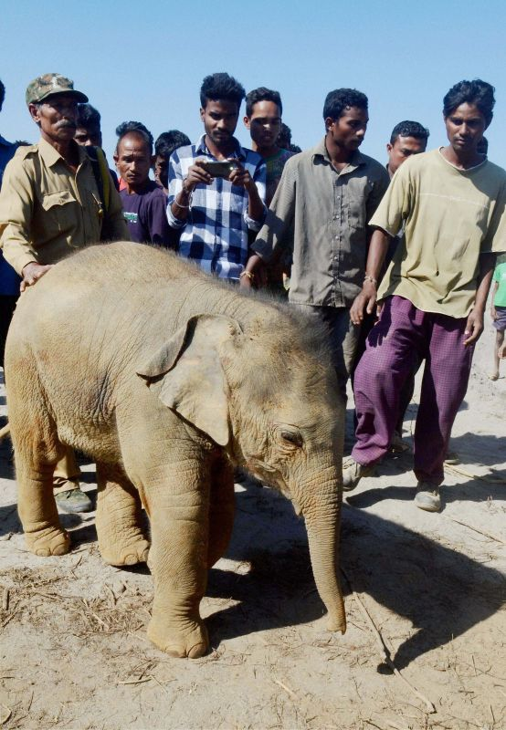 The rescued elephant calf which  accidentally fell into a pit dug in Assam's Sonitpur district. (Photo: PTI)