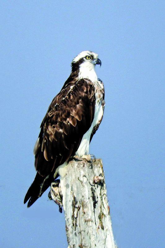 Osprey. (Photo: Yogesh Chavan)