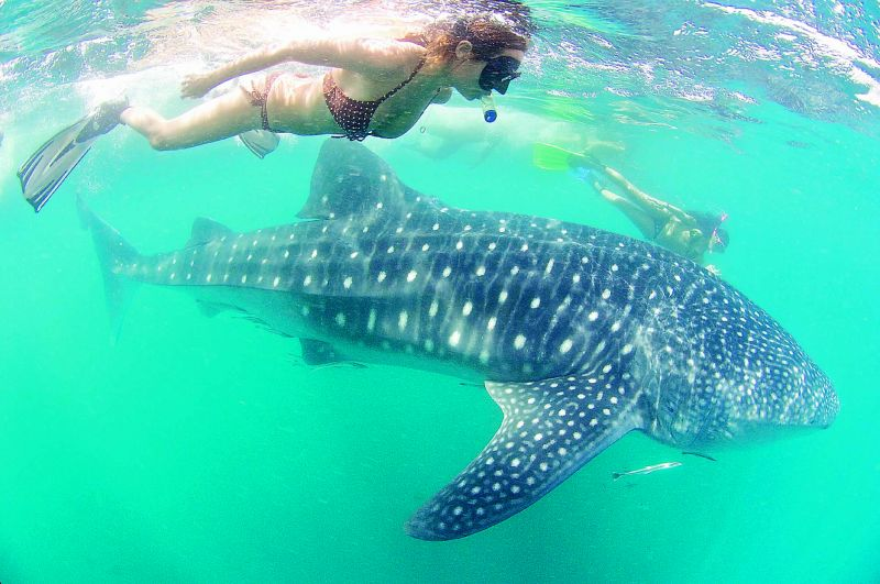 To swim in the same seas as the rare and beautiful whale-sharks is exhilarating
