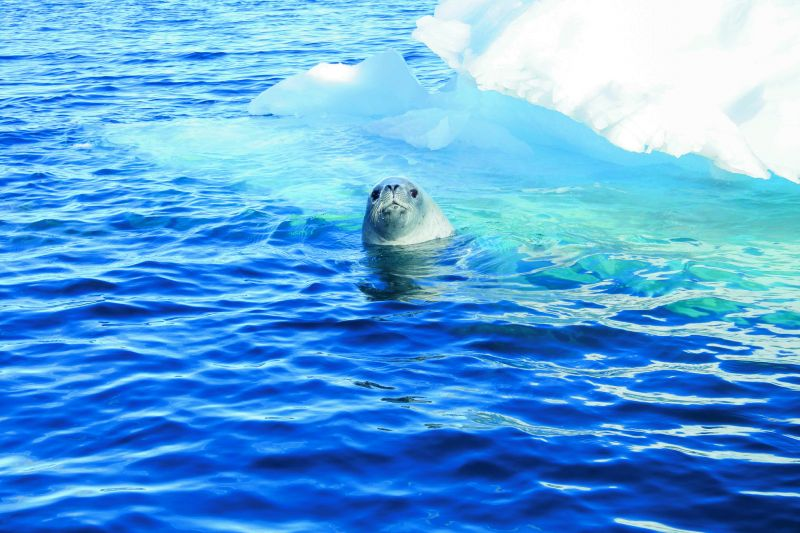 Hello, there! Crabeater seal with iceberg