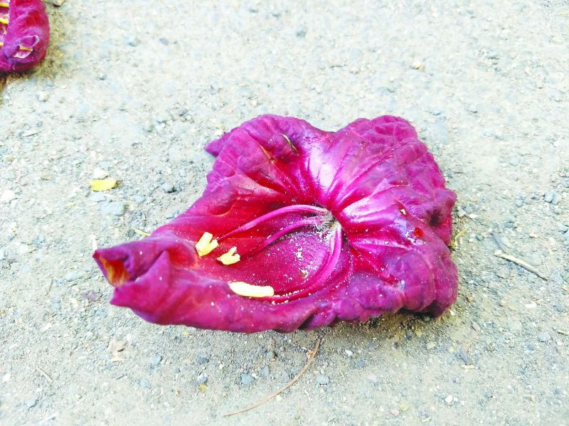 Sausage flower