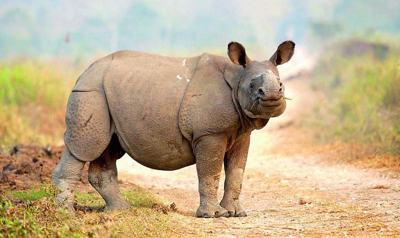 Great Indian rhino
