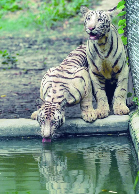 White tigers at Lucknow zoo on Friday. (Photo: PTI)