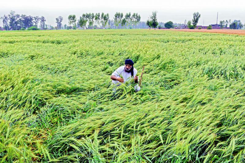 A farmer checks on his wheat crop after   unseasonal rain in Amritsar