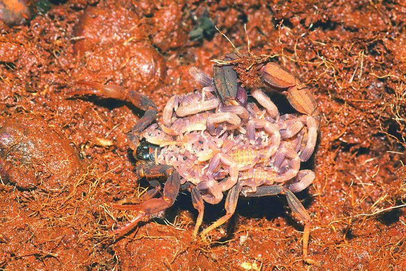 A scorpion with her babies